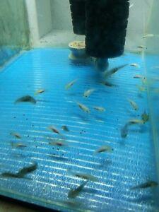 Baby axolotls Largs Bay Port Adelaide Area Preview