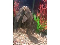 Nice healthy Plec for sale. I am selling this plec as it is getting too big for my tank.