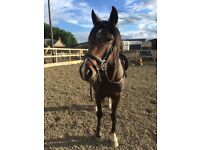 14.3hh bay gelding for sale