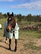 Talented Jumper or Trail Riding Horse Thornlands Redland Area Preview