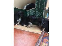 3 X Chihuahua Puppies