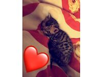 Gorgeous Golden Male Bengal Kitten For Sale