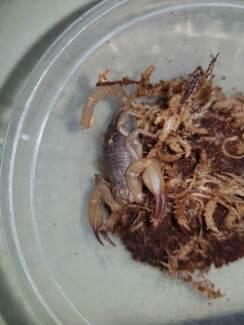 Swap Flinders Range scorpions for Reptile Enclosures etc