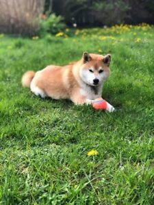 MISSING: Male Shiba Inu! Responses to Goose