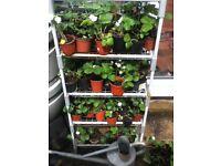 Quality Strawberry Plants