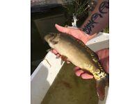 Pond fish, koi, shubunkins, gold fish