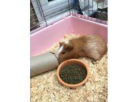 Male guniea pig
