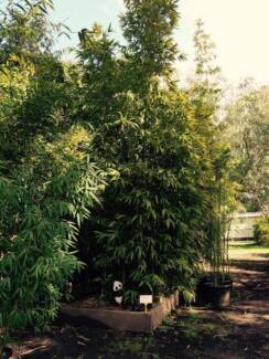 CLUMPING BAMBOO, NON-INVASIVE, SCREENING PLANTS Lower Plenty Banyule Area Preview