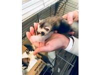 Now sold..Ferret babies for sale