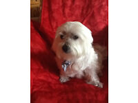 New home wanted for small dog. Ruffy is 10/11 years old. Clean, friendly, fit and well.