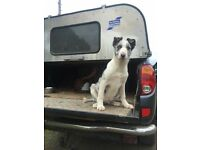 Young collie for sale