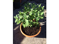 Perennial evergreen plant