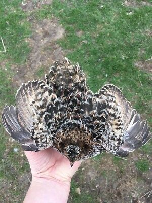 50+ RARE Pansy Coturnix Quail Hatching Eggs By Myshire! This Is A MUST HAVE!