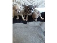 Short hair chihuahua puppies for sale