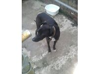 10 Month Old Lurcher for Sale