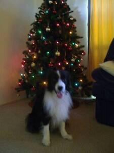 Christmas Tree for sale $100.00 neg Frenchville Rockhampton City Preview