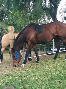 Ned 7yo TB gelding and all gear included Wollongong Wollongong Area Preview