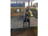 MALE STAFFY FREE TO A GOOD HOME