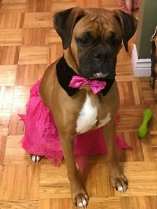 4yr old Female Boxer for rehoming