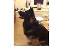 German shepherd dog for sale