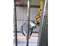 Male african grey parrot 4 years old
