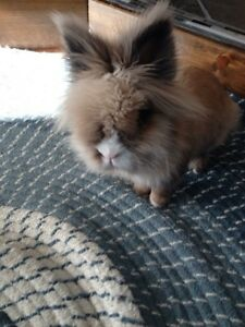 Lion Head Rabbit to Be Rehomed