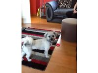 lhasa apso puppy nearly 8 months old, full pedigree but no papers,