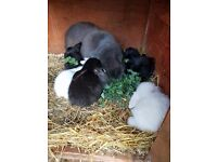 Baby giant french lop rabbits