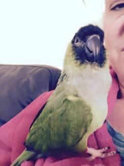 """Gentle Nanday Conure called """"Connor"""" Cranbourne Casey Area Preview"""