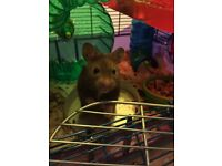 Syrian hamster and cage - no offers
