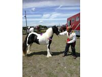 Traditional coloured Colt ,for sale
