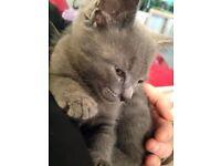Russian x British shorthair kittens