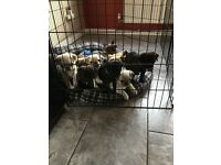 Pug puppies. KC REG