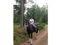 15.3HH coloured gelding for sale