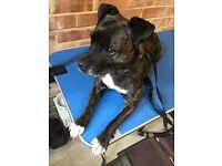 Staffy cross (free to a good home)