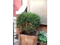 Mature box plants grown in pot