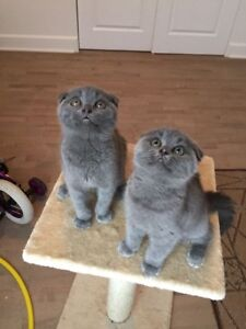 Chatons scottish fold pure race disponibles,super