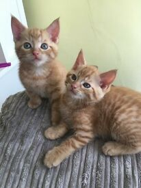 Male Ginger kittens
