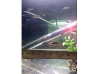 Tropical Swordtail Fry (approx 50)