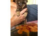 stunnning choc n tan pomchi female pup