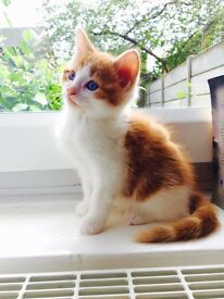 Male kitten for sale, nearly 2 months old
