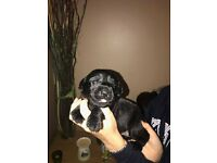 Chunky dark chocolate and black Labrador KC Reg puppies for sale