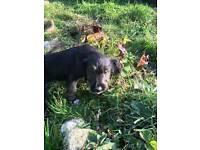 Lurcher x sprocker puppies for sale