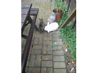 Two beautiful Rabbits for sale ( hutch is also available for extra cost )