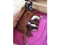 Boxer puppies for sale KC registered ONLY ONE LEFT