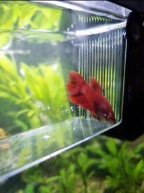 FREE bright red female betta tropical fish