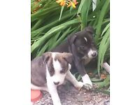 Staffordshire Bull Terrier & Border Collie mixed puppies for sale