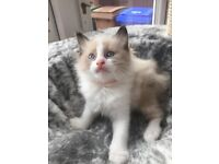 Beautiful Ragdoll Kittens - Reduced to £350. Hessle East Yorkshire