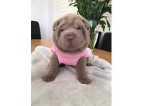 Shar Pei puppies £1000 ready now