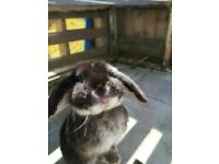 Adult male mini lop